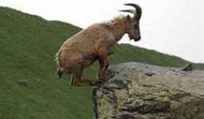 Goat at a Cliff : Can You Lose Your Salvation? Can I fall?