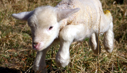 First Steps of a Baby Lamb : What Are My First Steps?